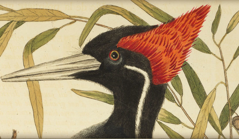 Spotlight Exhibit: Birds! Winged Wonders in Naturalists' Eyes