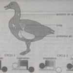 Gas-exchange in birds